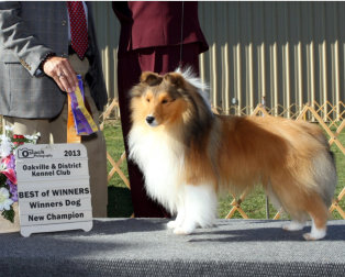 Isaac is pictured at the Oakville & District Kennel Club where he was Winners Dog and then on to Best of Winners to finish (in his summer clothes).