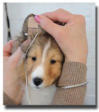 How To Have Perfect Sheltie Ears
