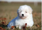 Coton de Tulear Puppy... what a wonderful little breed!  Bred/Owned by Nancy Tibben
